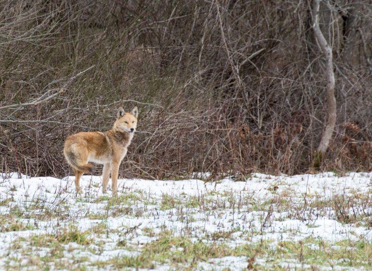 Iktomi et le coyote